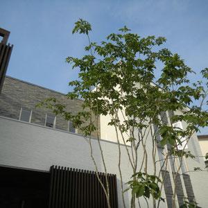 シンボルツリーに選んだのはアオダモ株立ちです。建物の大きさとのバランスを考えてボリュームを決めることが大切です。このアオダモは施主様と一緒に植木畑に行って選びました。  岡山市北区T様邸 エクステリア フラワーチルドレン