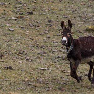 Azerbaijan - Herumtobende Esel auf dem Weg von Quba nach Xinaliq