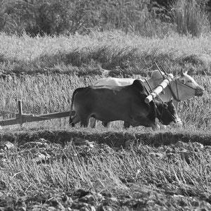 Myanmar people- Arbeit auf dem Feld