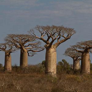 Madagaskar: Baobab-Bäume