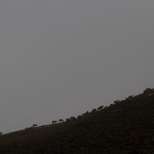 Azerbaijan - Schafe - Auf dem Weg von Quba nach Xinaliq