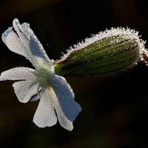 Polen - unterwegs in den Masuren - Blume am frühen Morgen