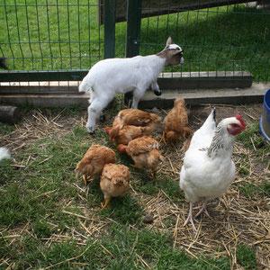 les poules et les chévres