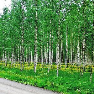 ... besonders schön bei Wanderungen in hellen Birkenwälder zu erleben.