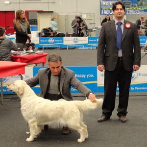 Esposizione Nazionale di Piacenza 16.03.2013 BOB Golden retriever