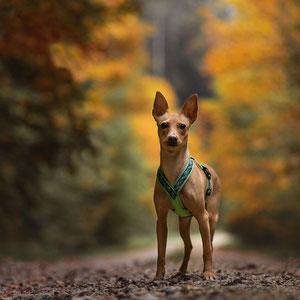 Podenco gesichert am Geschirr bei Herbstshooting im Wald