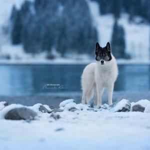 Grönlandhund bei Wintershooting in den Bergen