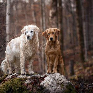 Golden Retriever bei Herbstshooting