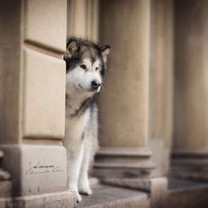 Malamute bei einem Hundeshooting in der Altstadt