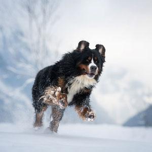 Actionshooting mit Berner Sennenhund