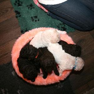 zes pups in het roze mandje