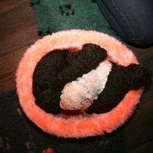 vier pups in het roze mandje