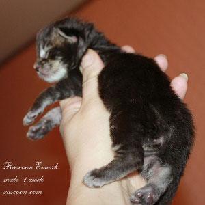 Rascoon Ermak  1 week