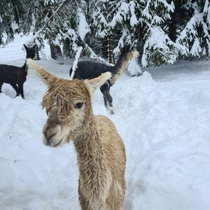 Alpaka Alpy im Schnee