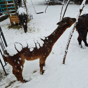 Alpaka Anna isst Schnee
