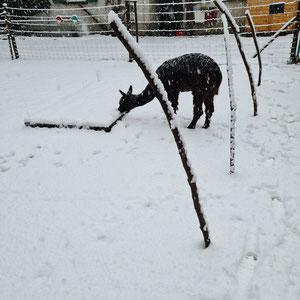 Alpaka Wilma isst Schnee
