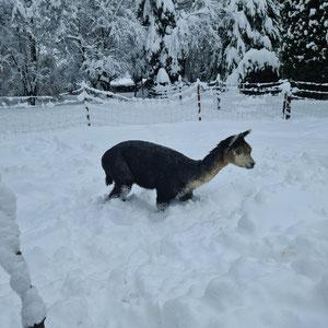 Alpaka Willi im Schnee