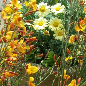 cytisus and marguerite