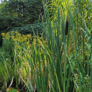Breitblättriger Rohrkolben (Typha Latifolia), Goldrute (Solidago), Seerose und Wasserminze am Uferrand.