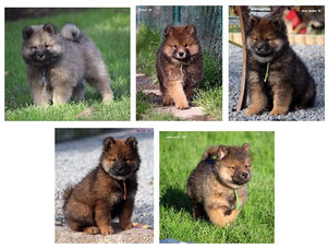 Fotos: Eurasier des Legendes de Retz / P.  Martineau