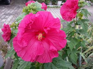 """Hibiskus """"Jazzberry Jam"""" von Sylvia H."""