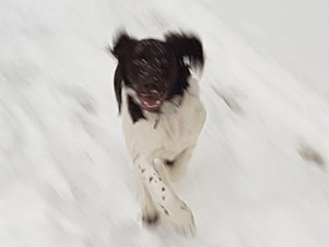 Hund Duke läuft