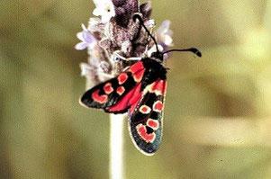 Z. algira leucopoda (Anti-Atlas oriental)