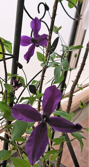 クレマチスは、つる植物の女王と言われているらしいです。