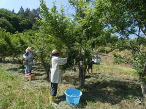 ひこばえ食工房 山椒の収穫作業風景