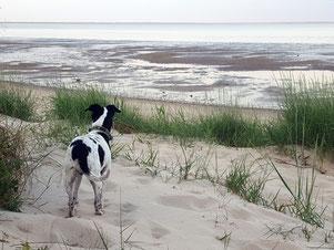 Dansk-Svensk-Gard-Hund am Wattenmeer