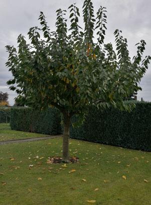 Kirschbaum wirft Laub ab