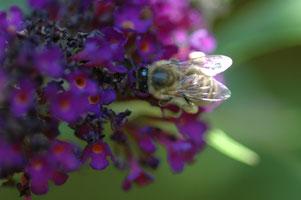 Wie machen es die Bienen?