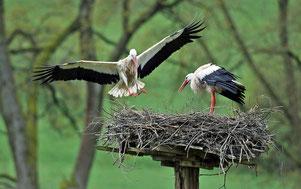 Storchenpaar im Anflug auf das Nest, Foto: Bernd Wagner, 2015