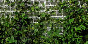 Grüne Fassaden können von jedem realisiert werden.