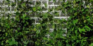 das ist eine der günstigsten Arten um Fassaden zu begrünen
