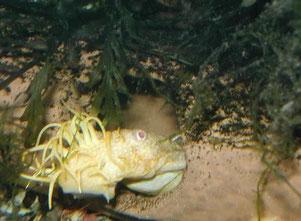 Goldancistrus spec.