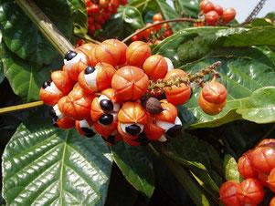 le Guarana qui sert à faire le soda national