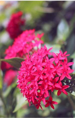 「とにかく花が大好き」という金城ソノエさんが育てたペンタス=7日午前、金城さんの自宅