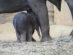Der Elefantennachwuchs im Tierpark Hagenbeck am zweiten Weihnachtstag. Foto: C. Schumann, 2018