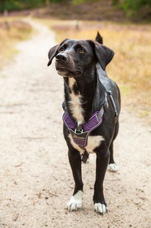Schwarz-weißer Hund steht auf einem Weg in den Holmer Sandbergen und schaut aufmerksam