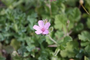 Huile essentielle de Géranium rosat - Pelargonium asperum