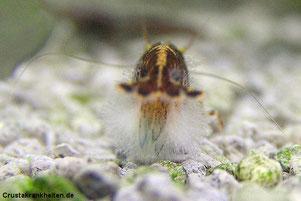 Pilze können Giftstoffe in den Garnelenorganismus abgeben.