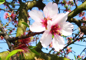 Mandelblüte Wachenheim