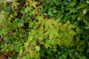 Acer micranthum maple