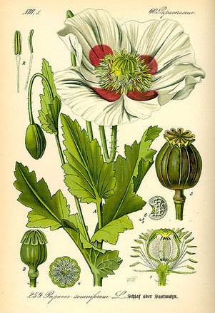 opium breadseed poppy analgesic pain killer alkaloids morphine codeine diarrhea cough-repressant