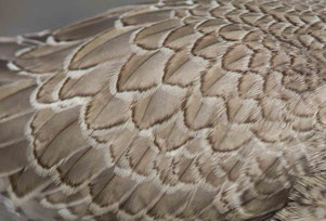 Knutt, 1. KJ, Rheindelta, 03.09.16. Gut zu erkennen sind die für viele Vogelarten typischen hellen Federränder des Kleingefieders im Jugendkleid. (Foto Robert Kugler)
