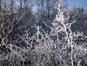 Busch mit Raureif und kleinen roten Beeren