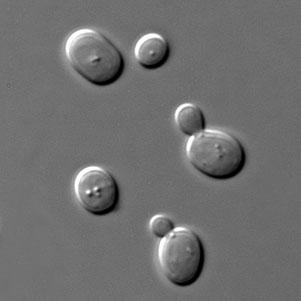 Levures Saccharomyces Cerevisiae en phase de croissance après inoculation du moût.