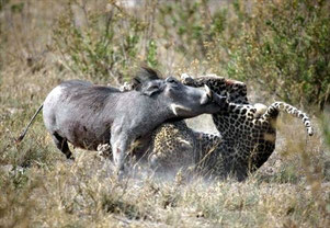Leopard Vs Warthog