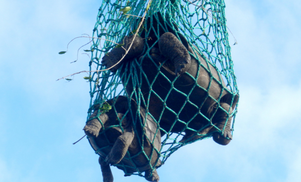 Las tortugas capturadas en isla Isabela fueron transportadas en helicóptero y barco hasta el Centro de Crianza Fausto Llerena de la isla Santa Cruz. / Joe Flanagan